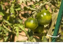 tomato plant growing ornamental stock photos tomato plant