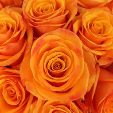 orange roses orange