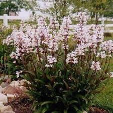 coreopsis u0027early sunrise u0027 gardens flowers and perennials