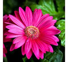 gerbera plant buy gerbera rani online at cheap price india s plants