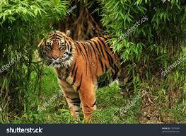 scary looking royal bengal tiger stock photo royalty free