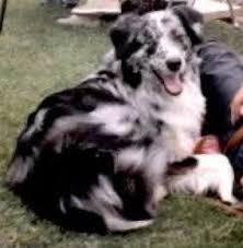 australian shepherd puppies los angeles las rocosa australian shepherds