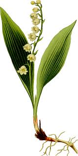 Lily Of The Valley Flower Clipart Lily Of The Valley