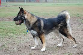 belgian sheepdog oklahoma do i have a belgian tervuren