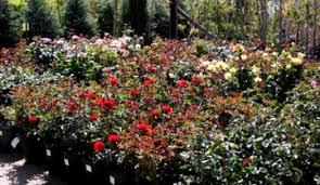 Flowering Privacy Shrubs - shrubs