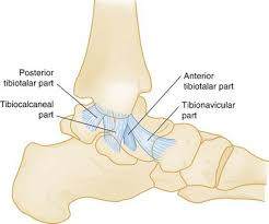 Lateral Collateral Ligament Ankle Ankle And Foot Anesthesia Key