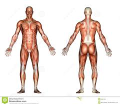 Male Body Anatomy Organs Human Anatomy Male Anatomy For Artists Male Anatomy Prostate