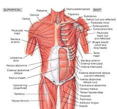 Tendons In The Shoulder Diagram Superficial Muscles Muscles Pinterest Muscle And Articles