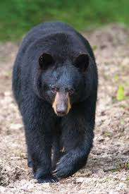 bear with us missouri department of conservation
