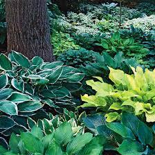 Fragrant Plants For Shade - perennials for shady gardens zone 9 orange county master gardeners
