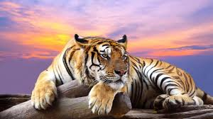 best 10 tiger wallpapers in world hd wonderful background