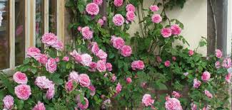 Fragrant Climbing Plants - roses ideal for shady areas david austin roses
