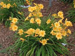 stella daylily daylily stella de oro six mile nursery