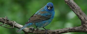 How To Attract Indigo Buntings To Your Backyard Indigo Bunting The Backyard Naturalist The Backyard Naturalist