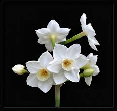 paperwhite flowers brighten your cottage home this winter with paperwhites