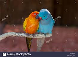 pair of small colorful parrot lovebirds agapornis grooming each