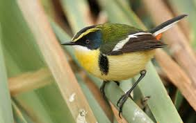 many colored rush tyrant introduction neotropical birds online