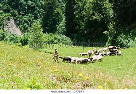 australian shepherd herding sheep sheep herding stock photos u0026 sheep herding stock images alamy