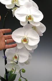 orchid pictures best 25 orchids ideas on orchid care growing orchids