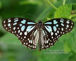 useful image of butter fly annual biology butterfly