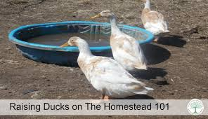 raising ducks on the homestead 101 what you need to know