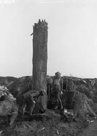 these trees were used as posts on the front lines of