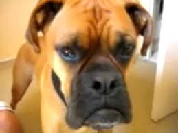 boxer dog noises talking dog oscar the boxer youtube