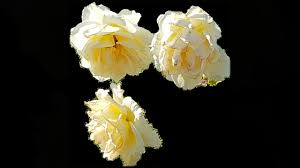 imagenes flores relajantes flores relajantes youtube
