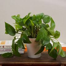 Plant Vase Buy Plants Online Pune Plant Delivery In Pune Ferns N Petals