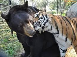 Tiger Meme - create meme i love you my tigress i love you my tigress the