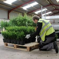 native hedging plants uk pot grown box hedge plants buxus sempervirens hedge plants