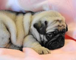 pug wallpaper screensaver background cute pug puppy pug