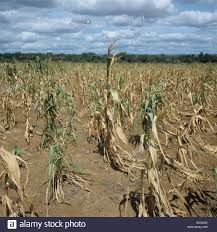 irrigated corn failing maize corn crop struggling to grow in non irrigated stock