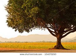 big tree stock images royalty free images vectors