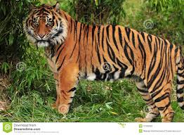tiger in the jungle stock image image of africa 12169645