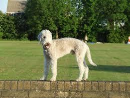 bedlington terrier stud 192 best х bedlington terrier images on pinterest album search