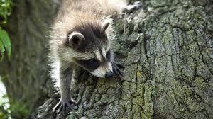 raccoon nation raccoon fact sheet nature pbs