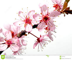 blossoming tree branch with pink flowers stock image image of