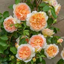 roses ideal for short walls u0026 fences david austin roses