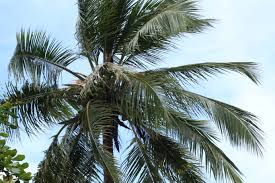 green coconut palm tree free image peakpx