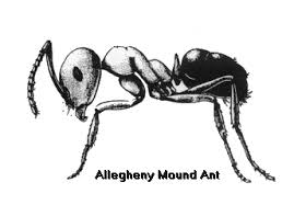 allegheny mound ant control ant identification
