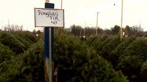 freshly cut christmas trees increase in price cbs new york