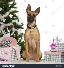 belgian shepherd golden retriever mix belgian shepherd dog malinois 1 year stock photo 95062903