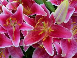 pink lilies pink lilies search pinks the story the designs