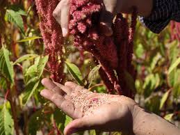 plants native to mexico amaranth another ancient wonder food but who will eat it