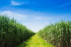 cane and fresh sugarcane juice in bottle stock image image 80171961
