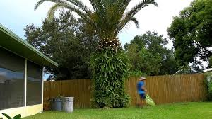 trimming a date palm timelapse and shoutout youtube