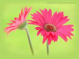google images flower gerbera daisies wallpapers group 47