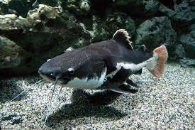 free images amphibian fauna aquarium freshwater fish wels