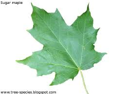 maple tree symbolism the world s tree species sugar maple leaf acer saccharum pinterest